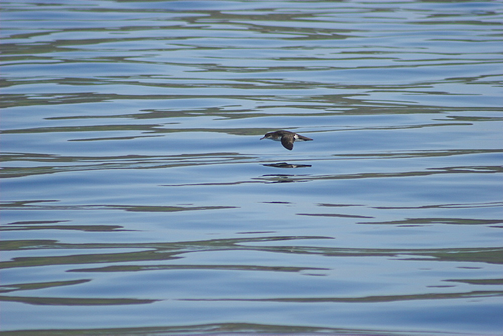 Manx Shearwater (Puffinus puffinus) gliding over calm waters Isle of Mull in Western Scotland - 985-38