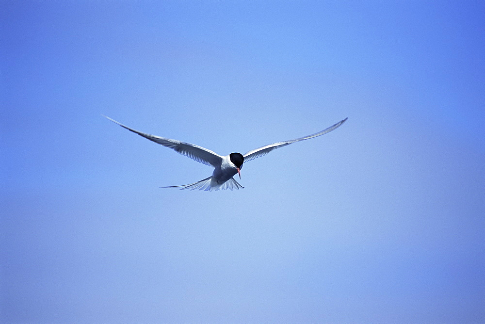 Arctic tern (Sterna hirundo) hovering over estuary, hunting sand eels, in mid-summer when the colonies are active for 24 hours per day. Iceland.  - 985-44