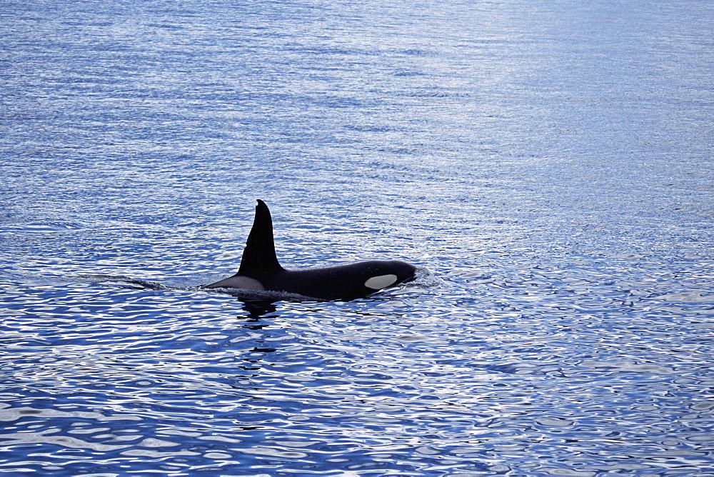 Adult male Killer whale (Orcinus orca). Olafsvik, Iceland. - 985-7