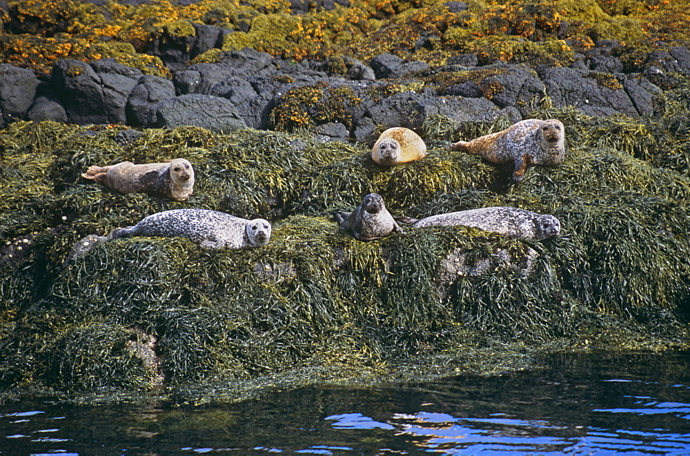 Common seal (Phoca vitulina).  Hebrides, Scotland - 988-117