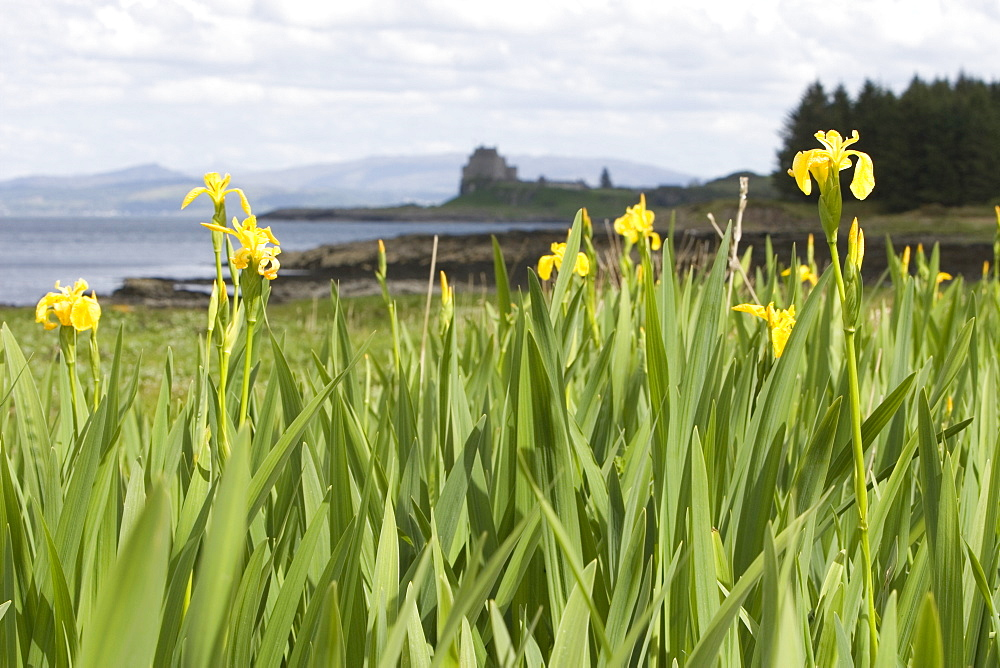 Wild iris ().  Unlike variants grown outwith the wild, reportedly all wild irises are yellow in colour.  Hebrides, Scotland.