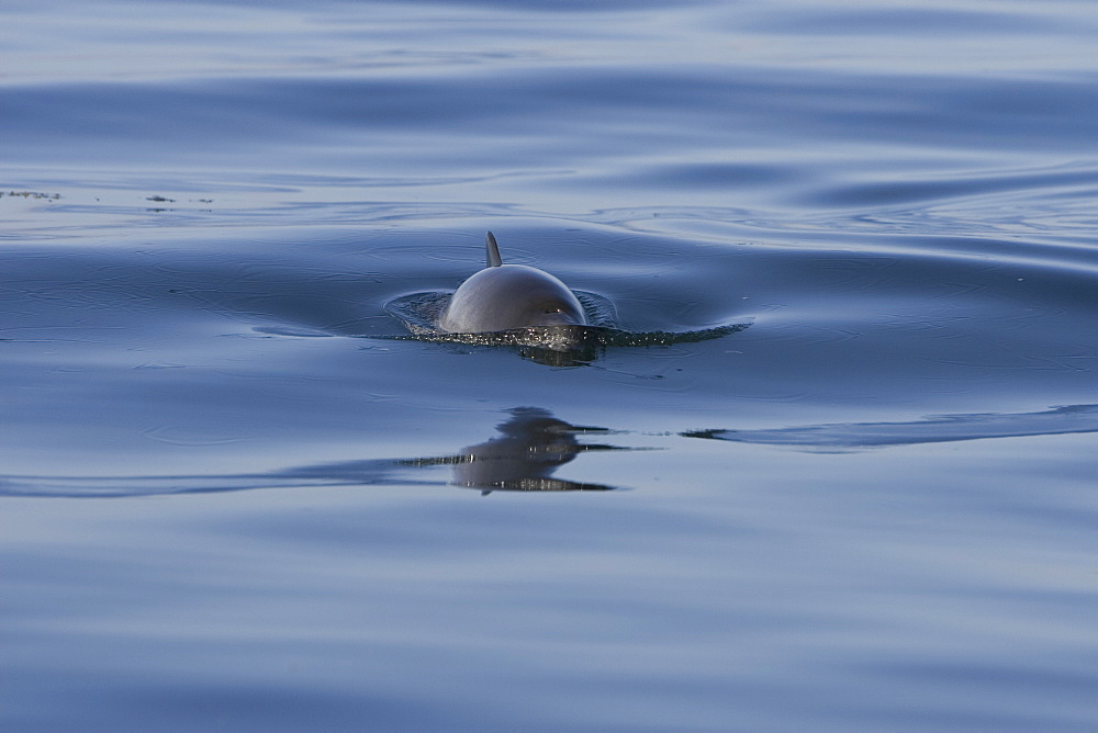 Harbour porpoise (Phocoena phocoena).  The west coast of Scotland remains a stronghold for the porpoise where it is far less likely to fall victim to fishery bycatch.  Hebrides, Scotland - 988-21