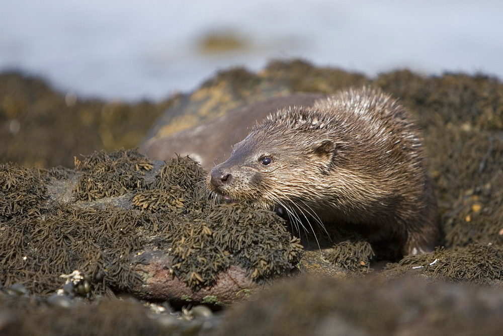 Eurasian river otter (Lutra lutra) resting in the seaweed and rocks.  Otters spend a great deal of time resting, usually close to the water's edge or on rocks just offshore.  This time is spent sleeping and preening fur etc.  Notice the recent injuries sustained by this otter around the head and neck area.  Hebrides, Scotland