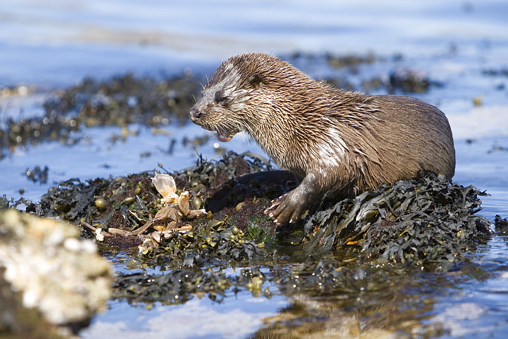 Eurasian river otter (Lutra lutra) eating a large crab.  Large fish and crabs are difficult to constrain and eat in the water so are often brought ashore.  Otters will sometimes swim realtively long distances in order to do so.  Hebrides, Scotland - 988-61