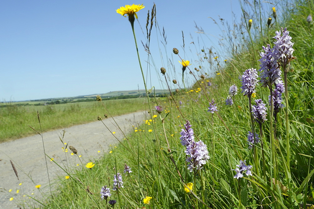 Common spotted orchids (Dactylorhiza fuchsii) and rough hawkbit (Leontodon hispidus) on the verge of track, Marlborough Downs, Wiltshire, England, United Kingdom, Europe - 989-325