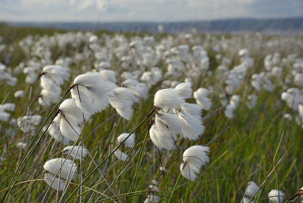 Dense stand of common cottongrass (Eriophorum angustifolium) flowering on damp moorland, the Gower Peninsula, Wales, United Kingdom, Europe