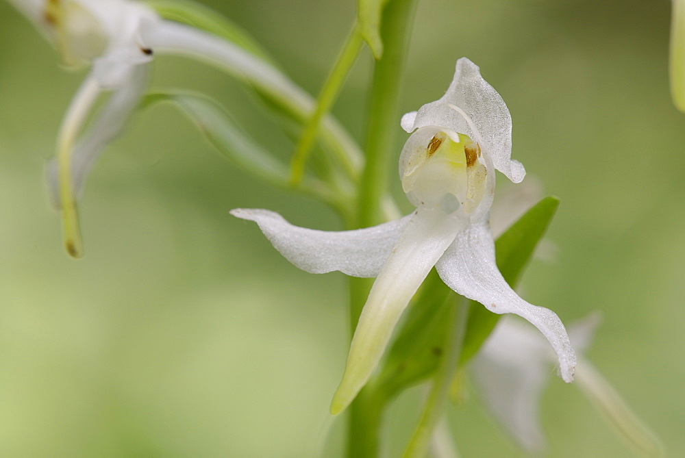 Greater butterfly orchid (Platanthera chlorantha) flowers, Gloucestershire, England, United Kingdom, Europe