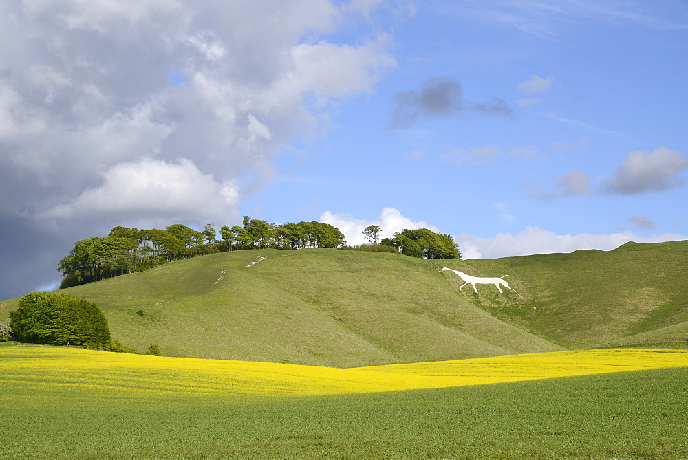 Cherhill White Horse, cut into chalk downland in 1780, with rape crop (Brassica napus) flowering in the foreground, Wiltshire, England, United Kingdom, Europe