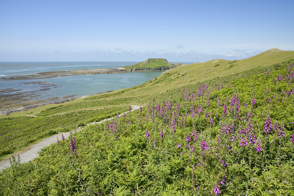 The Worm's Head with causeway exposed at low tide and flowering common foxgloves (Digitalis purpurea), The Gower Peninsula, Wales, United Kingdom, Europe