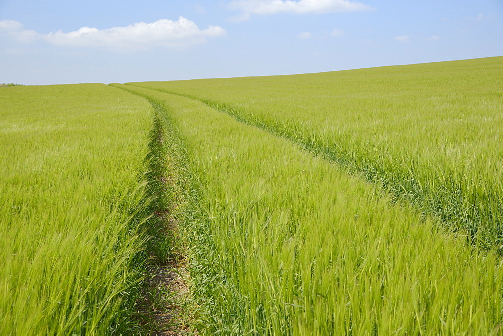 Vehicle tracks through a field of barley (Hordeum vulgare), Marlborough Downs, Wiltshire, England, United Kingdom, Europe - 989-336