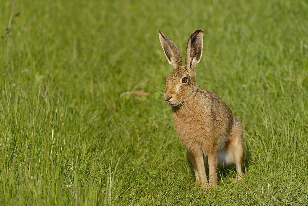 European hare (brown hare) (Lepus europaeus) standing on grassy farmland track in evening sunshine, Marlborough Downs, Wiltshire, England, United Kingdom, Europe