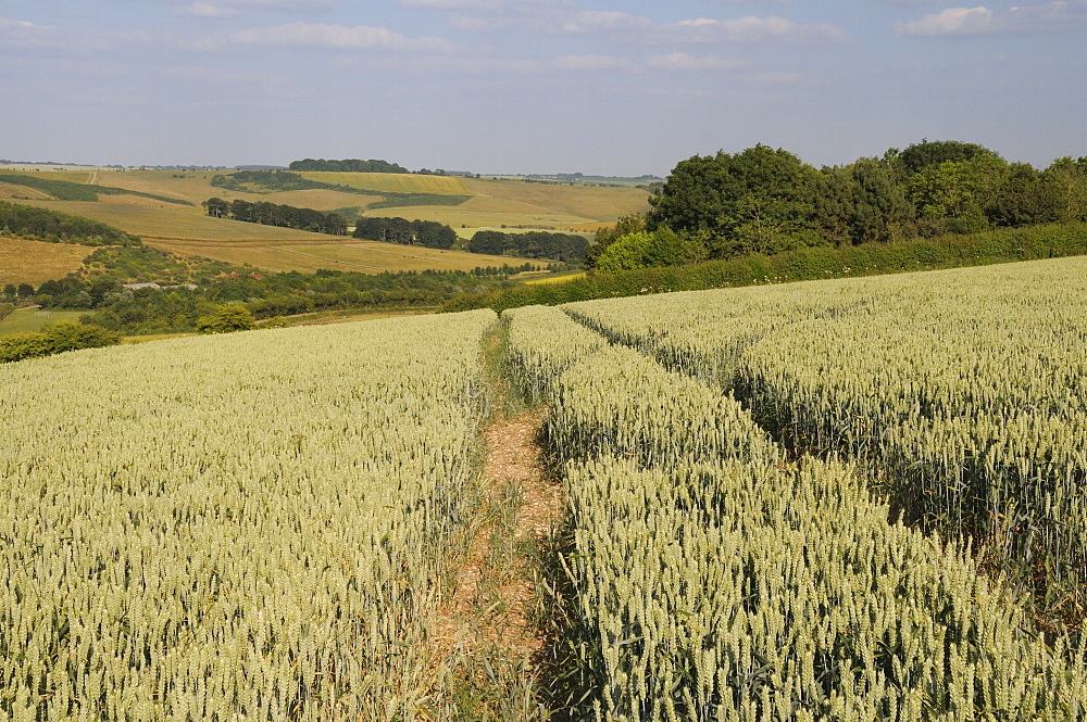 Ripening wheat (Tricticum aestivum) with pastureland, arable crops, trees and the Ridgeway in the background, Marlborough Downs, Wiltshire, England, United Kingdom, Europe - 989-340