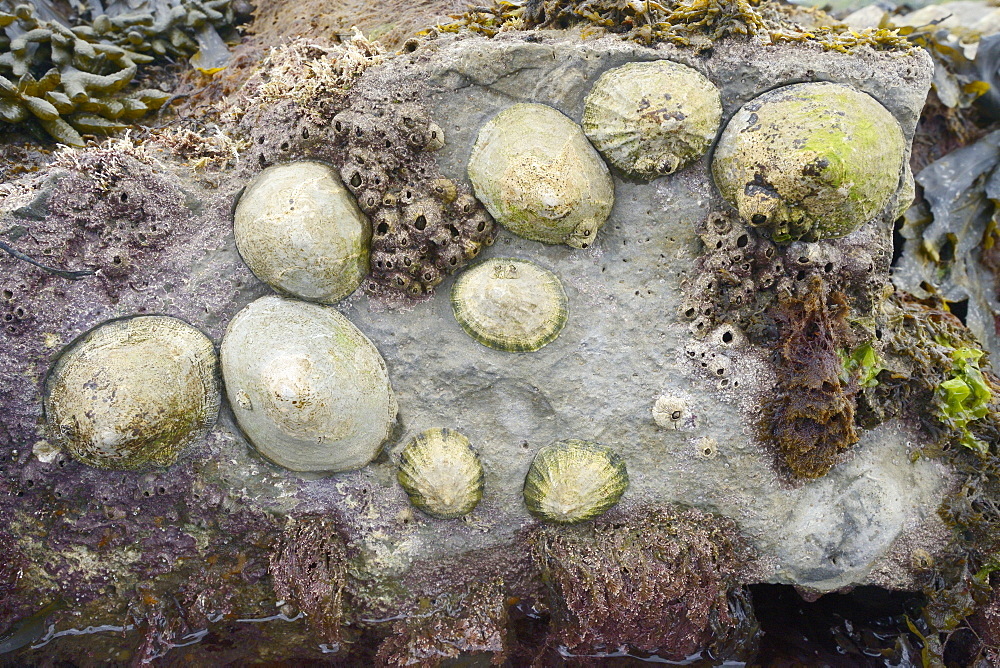 Common limpets (Patella vulgata) and acorn barnacles (Balanus perforatus) attached to rocks exposed at low tide, Dorset, England, United Kingdom, Europe