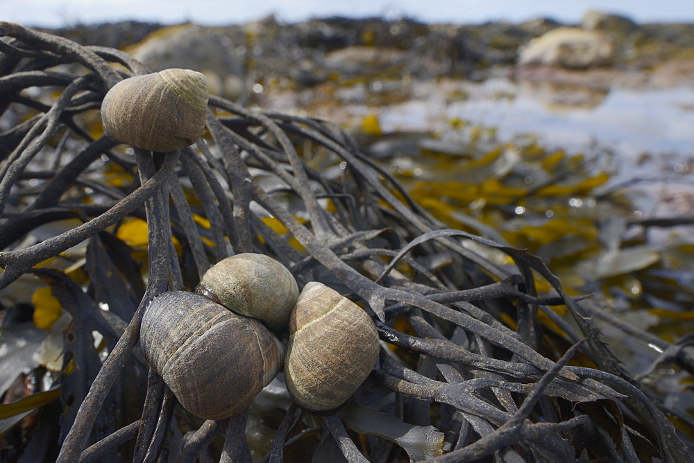 Common periwinkles (Littorina littorea) on toothed wrack (Fucus serratus) exposed at low tide, Lyme Regis, Dorset, England, United Kingdom, Europe