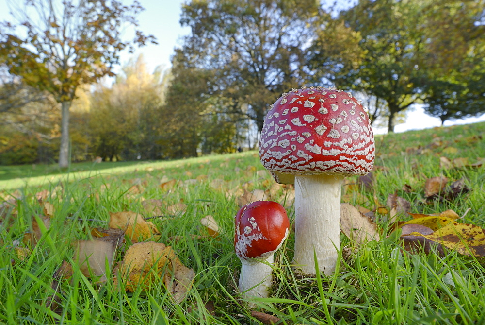 Fly agaric toadstool (Amanita muscaria) growing in grassland, Coate Water Country Park, Swindon, Wiltshire, England, United Kingdom, Europe
