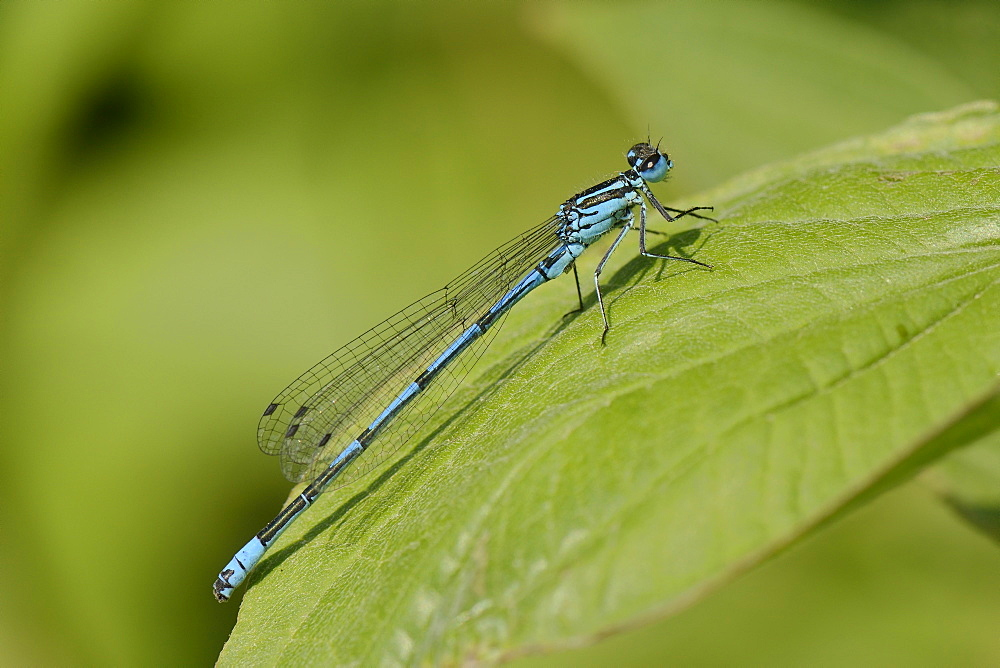 Male azure damselfly (Coenagrion puella) resting on a leaf, Wiltshire, England, United Kingdom, Europe - 989-354