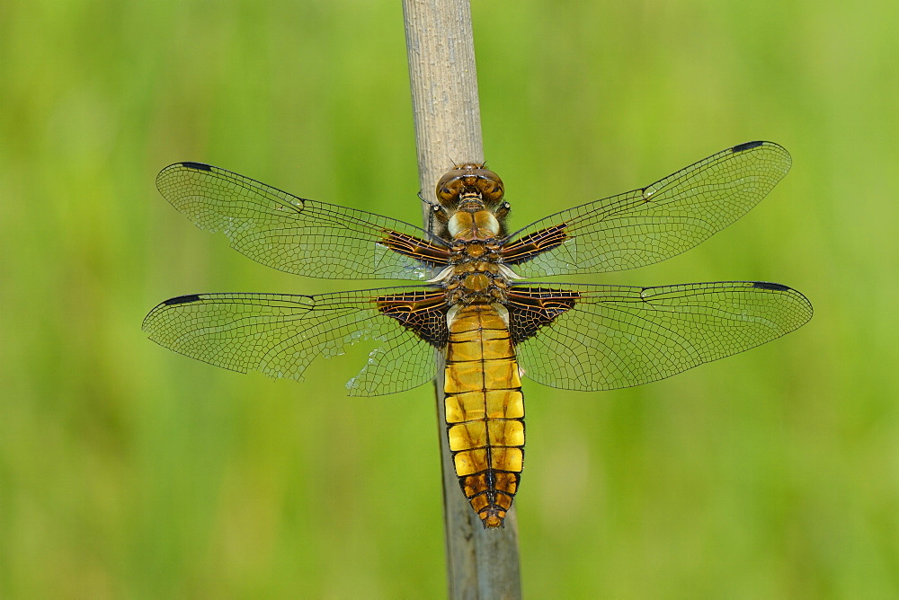 Female broad bodied chaser dragonfly (Libellula depressa) with one damaged wing resting on a reed stem, Wiltshire, England, United Kingdom, Europe - 989-355