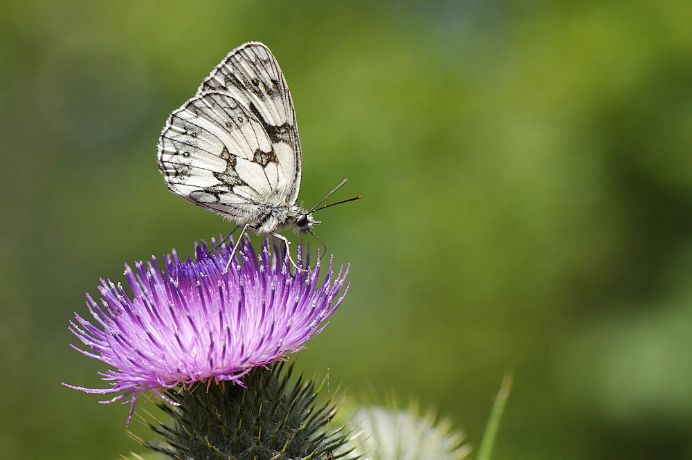 Marbled white butterfly (Melanargia galathea) foraging on spear thistle (Cirsium vulgare), Marlborough Downs, Wiltshire, England, United Kingodm, Europe