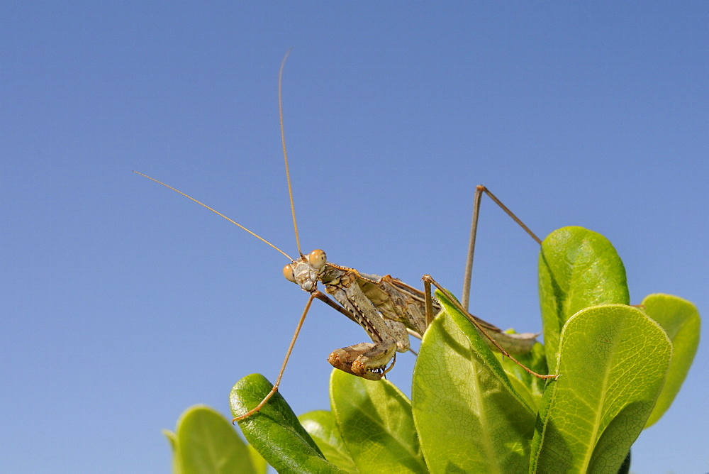 Low angle view of a Praying mantis (Mantis religious) hunting on a bush, Greece, Europe - 989-358