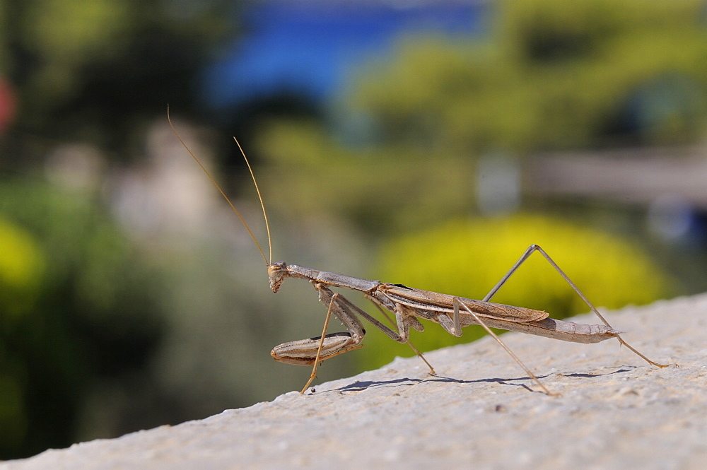 Alert praying mantis (Mantis religiosa) looking out from a hotel balcony, Kilada, Greece, Europe - 989-359