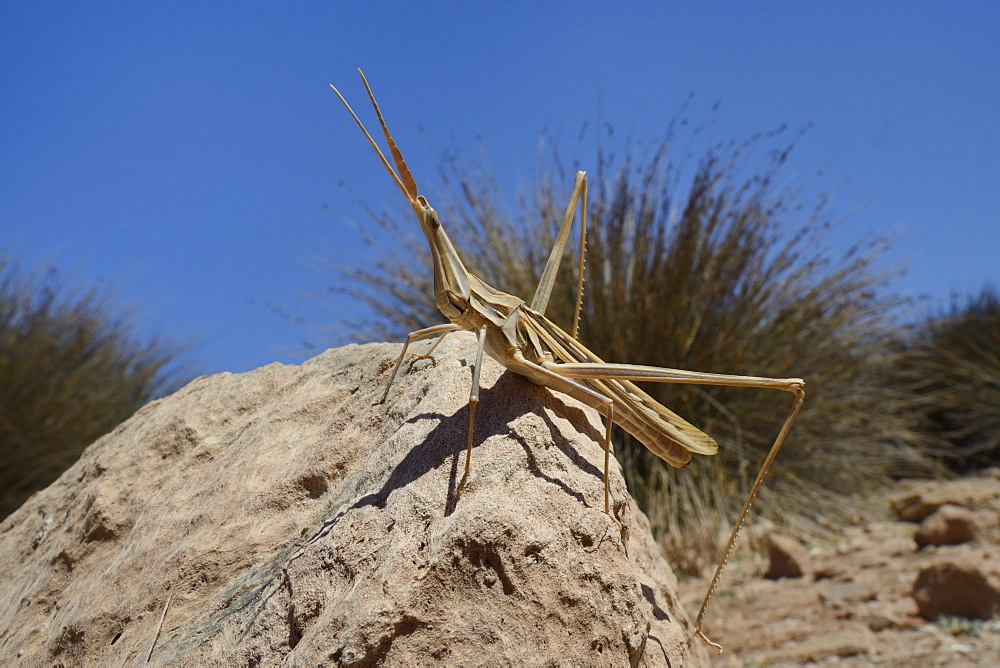 Low angle view of a male slant-faced grasshopper (big nose grasshopper) (long-nosed grasshopper) (Truxalis nasuta) standing on a boulder, Crete, Greece, Europe - 989-360