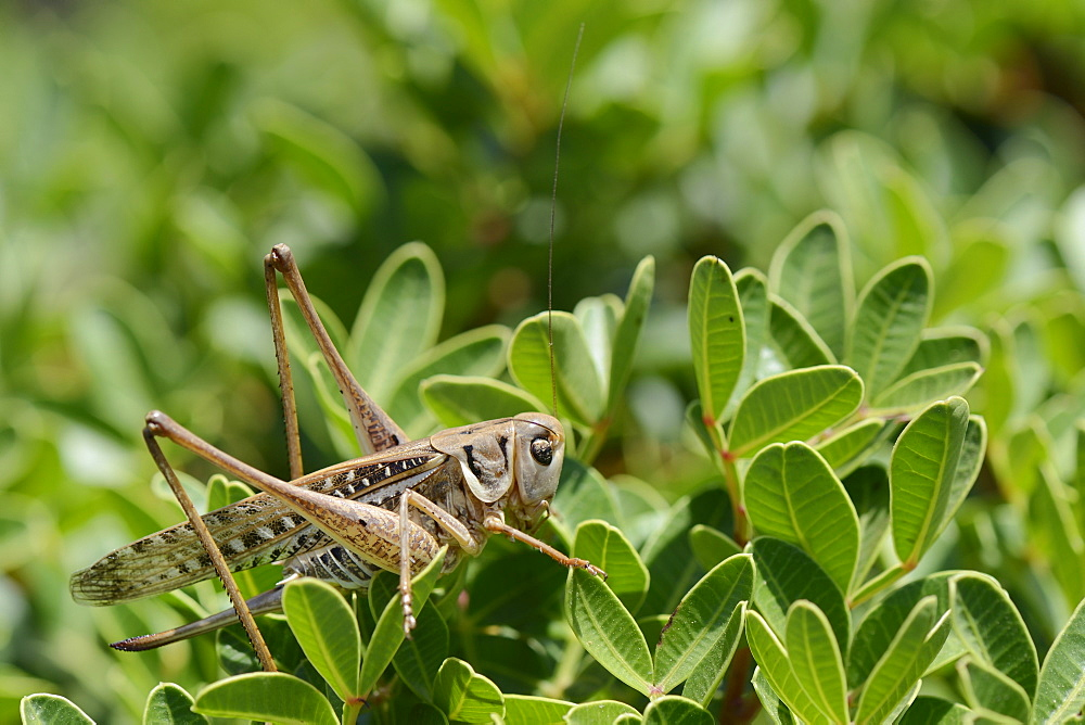 Female white-faced wartbiter bush cricket (Decticus albifrons), in a bush, Crete, Greece, Europe