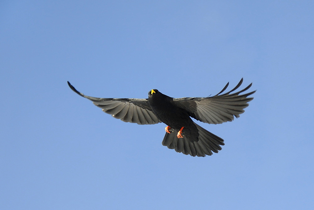 Alpine chough (yellow-billed chough) (Pyrrhocorax graculus) in flight overhead, Haute Savoie, France, Europe - 989-363