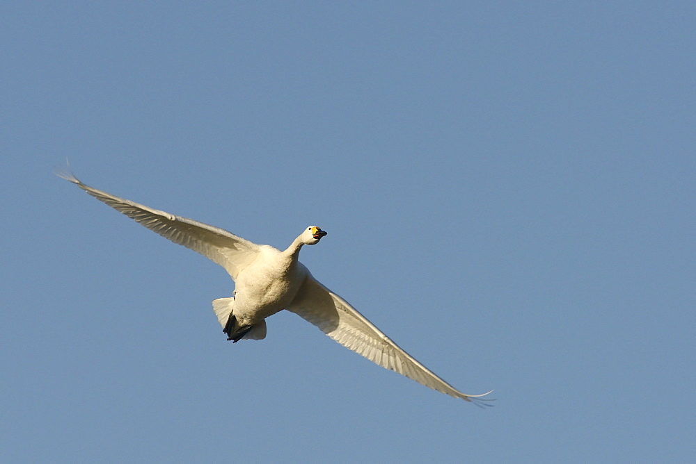 Bewick's swan (Cygnus bewickii) in flight overhead against a blue sky, Gloucestershire, England, United Kingdom, Europe - 989-364