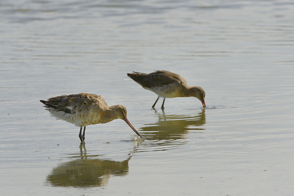 Two black-tailed godwits (Limosa limosa) foraging in a freshwater lake, Gloucestershire, England, United Kingdom, Europe - 989-365