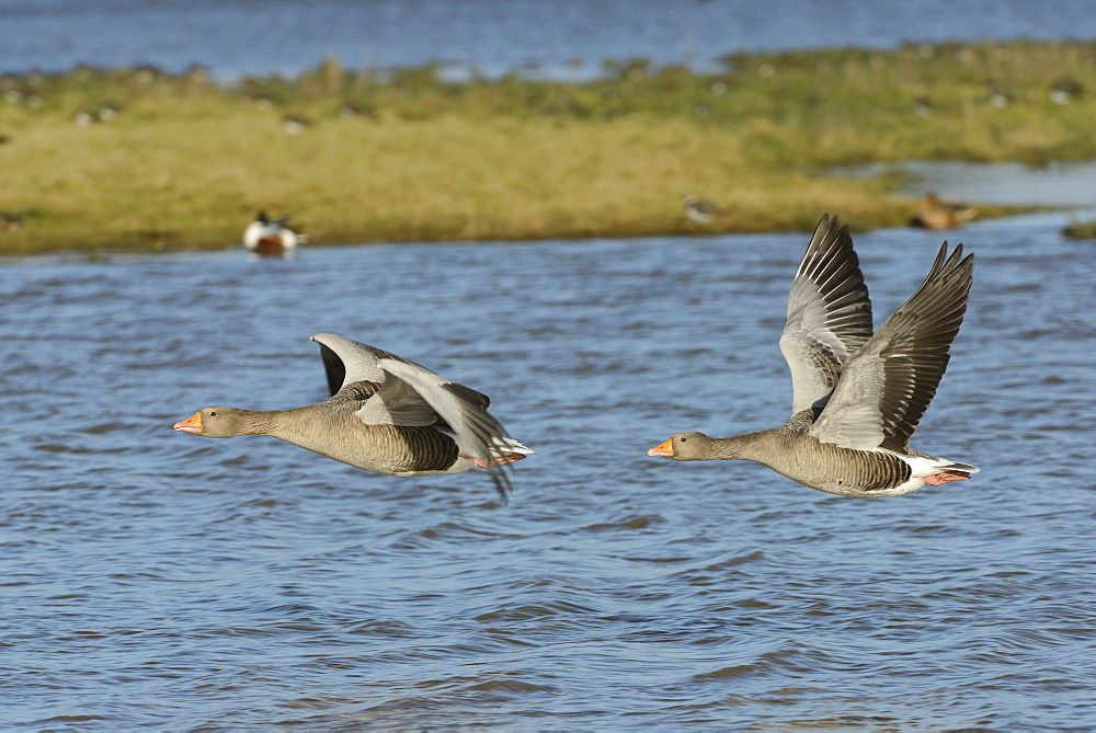 Greylag goose pair (Anser anser) flying over flooded pastureland, Gloucestershire, England, United Kingdom, Europe