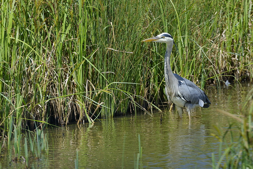 Grey heron (Ardea cinerea) hunting in a marshland pool, Gloucestershire, England, United Kingdom, Europe - 989-370