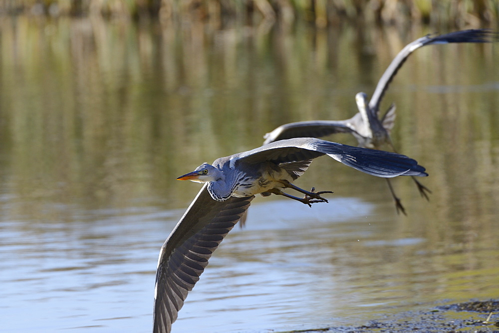 Juvenile grey heron (Ardea cinerea) in flight, escaping from an aggressive rival in a territorial dispute, Rutland Water, Rutland, England, United Kingdom, Europe - 989-371