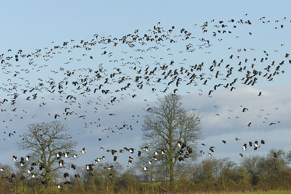 Dense flock of lapwings (Vanellus vanellus) flying over flooded pastureland, Gloucestershire, England, United Kingdom, Europe