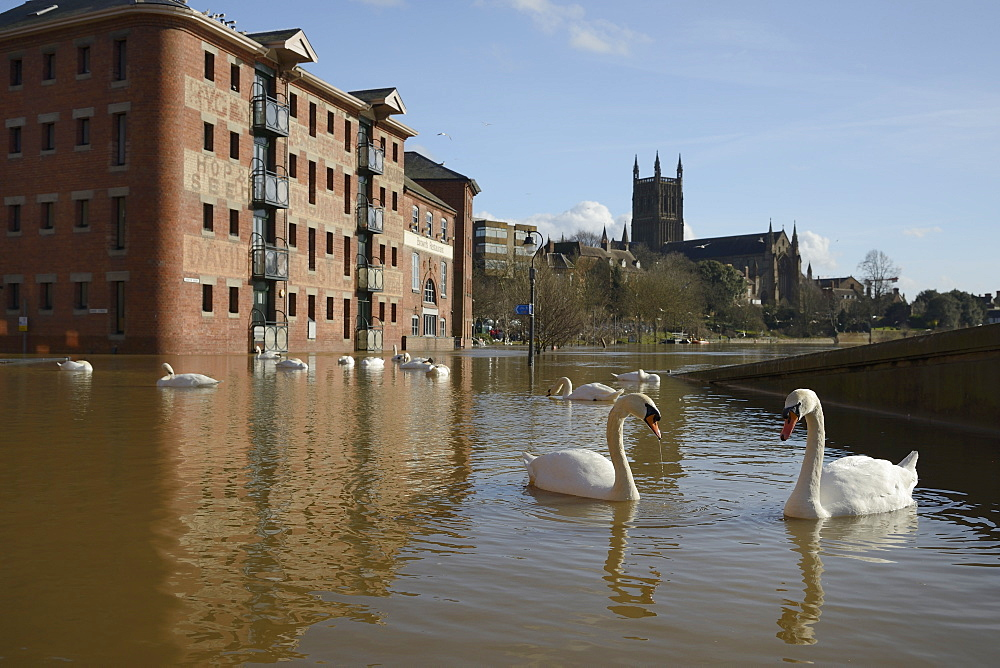 Mute swans (Cygnus olor) swimming near the Old Cornmill after  Worcester was inundated by the River Severn bursting its banks, Worcester, Worcestershire, England, United Kingdom, Europe - 989-375
