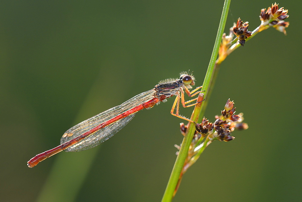 Male small red damselfly (Ceriagrion tenellum) infested with mites perched on a sedge stem, Creech Heath, Dorset, England, United Kingdom, Europe