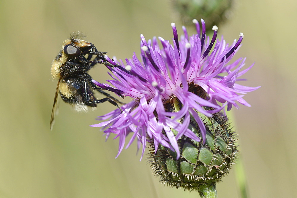 Hoverfly (Volucella bombylans var. plumata) visiting a greater knapweed flower (Centaurea scabiosa) in a chalk grassland meadow, Wiltshire, England, United Kingdom, Europe