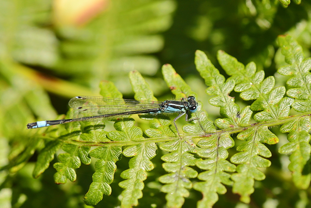 Male blue-tailed damselfly (Ischnura elegans) resting on a bracken frond, Studland Heath, Dorset, England, United Kingdom, Europe