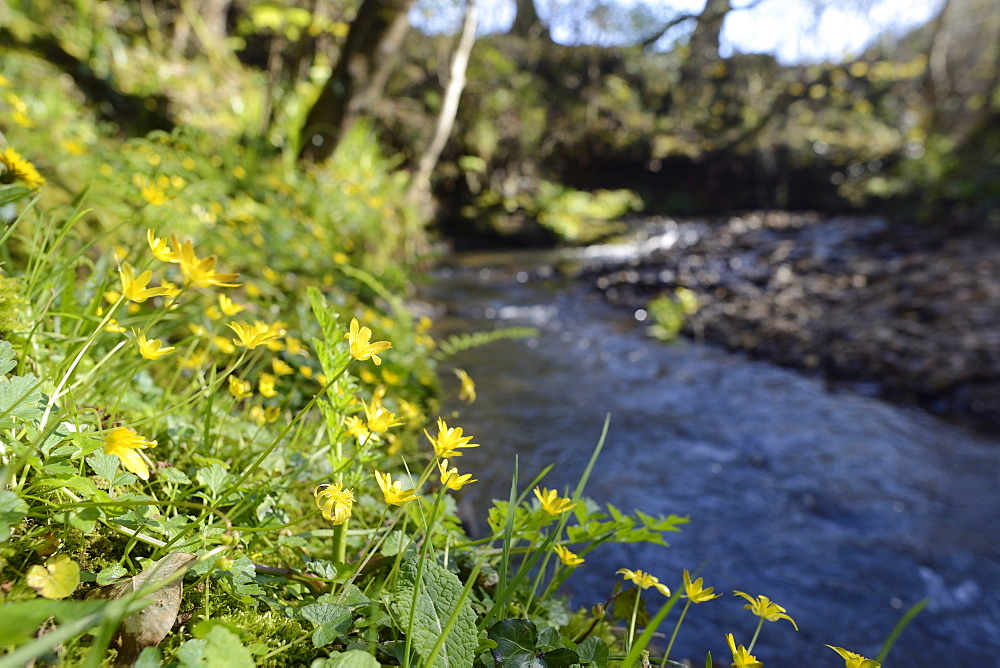 Lesser celandines (Ranunculus ficaria) flowering on a stream bank in woodland, Millook Valley Woods, Cornwall, England, United Kingdom, Europe - 989-386