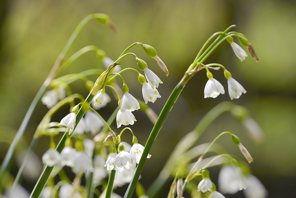 Summer snowflake (Loddon lily (Leucojum aestivum) flowering in damp riverside woodland, Wiltshire, England, United Kingdom, Europe - 989-394