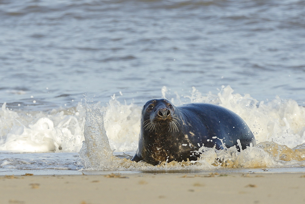 Grey seal (Halichoerus grypus) adult hauling ashore among breaking waves, Norfolk, England, United Kingdom, Europe - 989-397