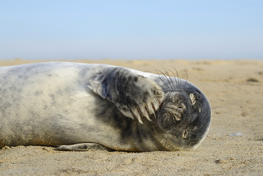 Grey seal pup (Halichoerus grypus) chewing a flipper while lying on a sandy beach, Norfolk, England, United Kingdom, Europe