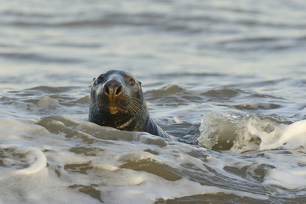 Alert grey seal (Halichoerus grypus) spy hopping at the crest of a wave to look ashore in sunset light in January, Norfolk, England, United Kingdom, Europe - 989-399