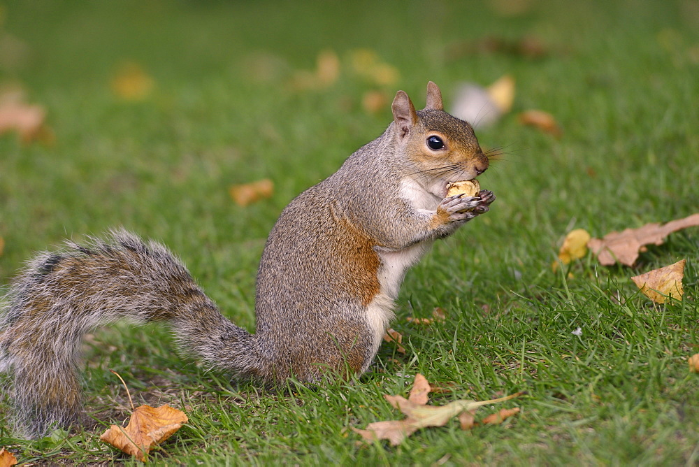 Grey squirrel (Sciurus carolinensis) biting into a peach stone left by a tourist on a lawn in St. James's Park, London, England, United Kingdom, Europe - 989-400