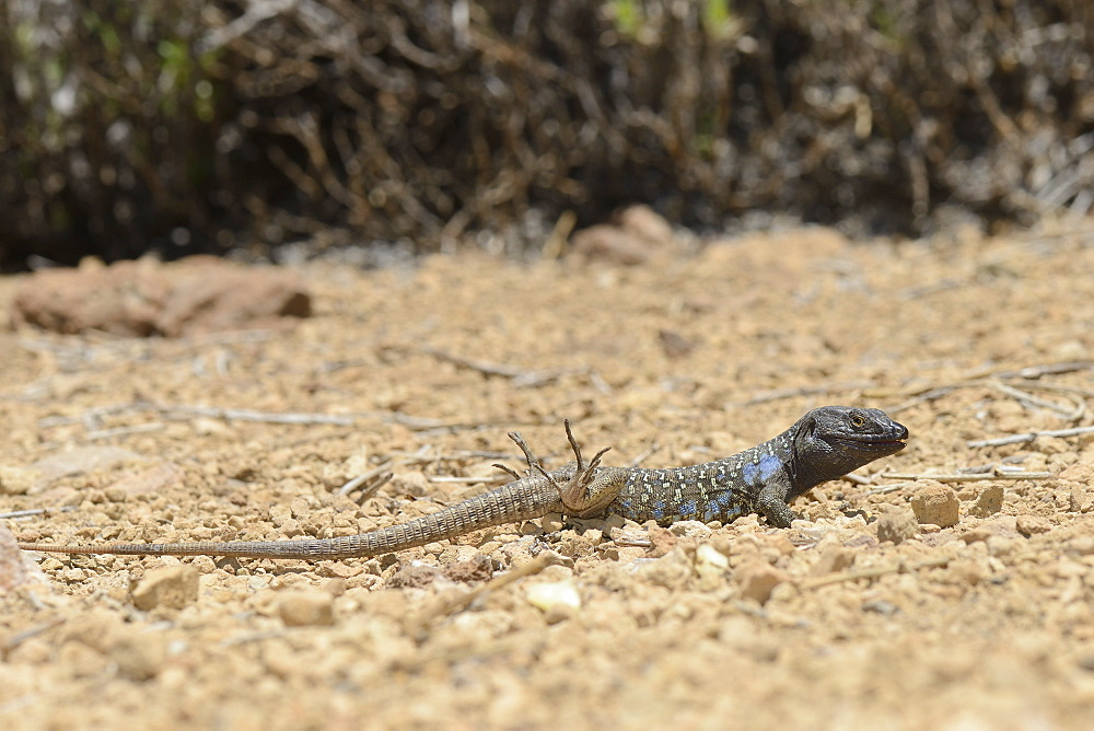 Male Tenerife lizard (Western Canaries lizard) (Gallotia galloti) raising its back feet after getting hot foraging, Tenerife, Canary Islands, Spain, Europe - 989-402