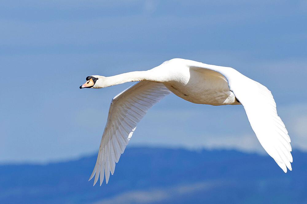 Mute swan (Cygnus olor) cob flying over the River Severn estuary, Gloucestershire, England, United Kingdom, Europe - 989-423
