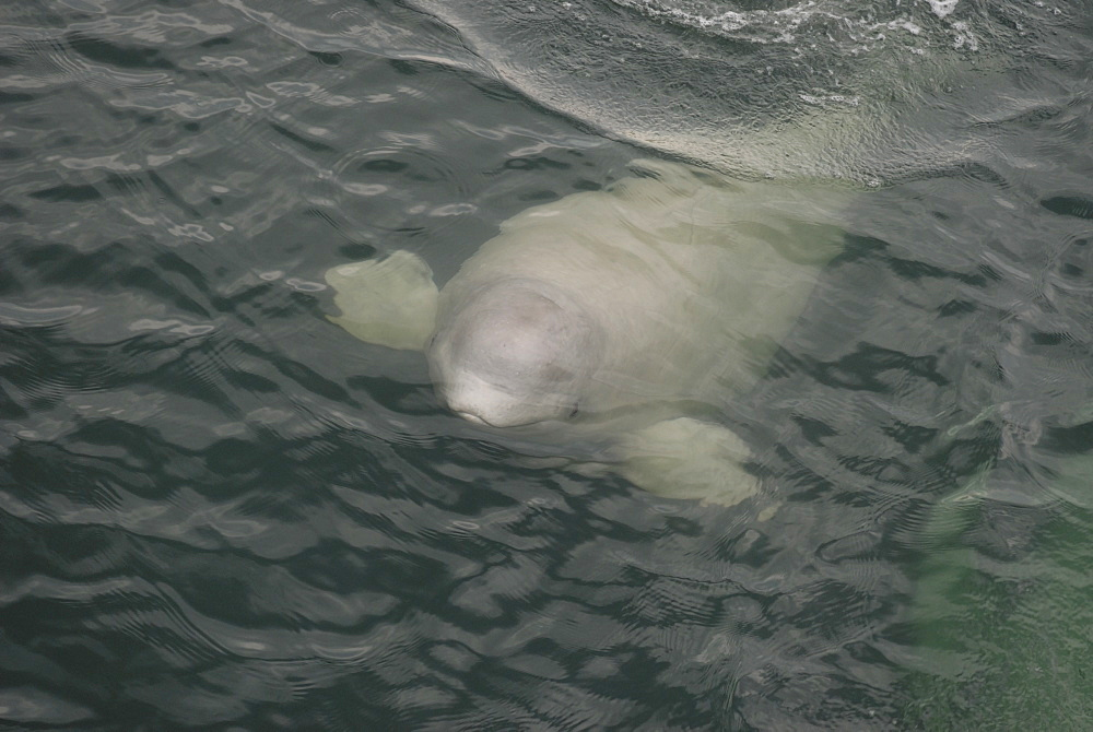 Curious Beluga whale (Delphinapterus leucas) surfaces near the boat, its flippers widely spread in order to keep its balance. Note the distinctive lips and the open eye. St. Lawrence estuary, Canada Sequence 2/2.