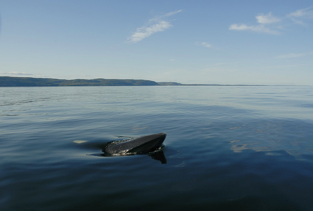 Friendly Minke whale (Balaenoptera acutorostrata) surfacing laterally and curiously approaching the research vessel. St. Lawrence estuary, Canada - 990-143