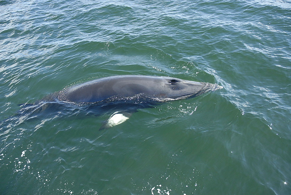 Very slowly, a curious Minke whale (Balaenoptera acutorostrata) surfaces spreading its pectoral fins perpendicular to its body. St. Lawrence estuary, Canada - 990-145
