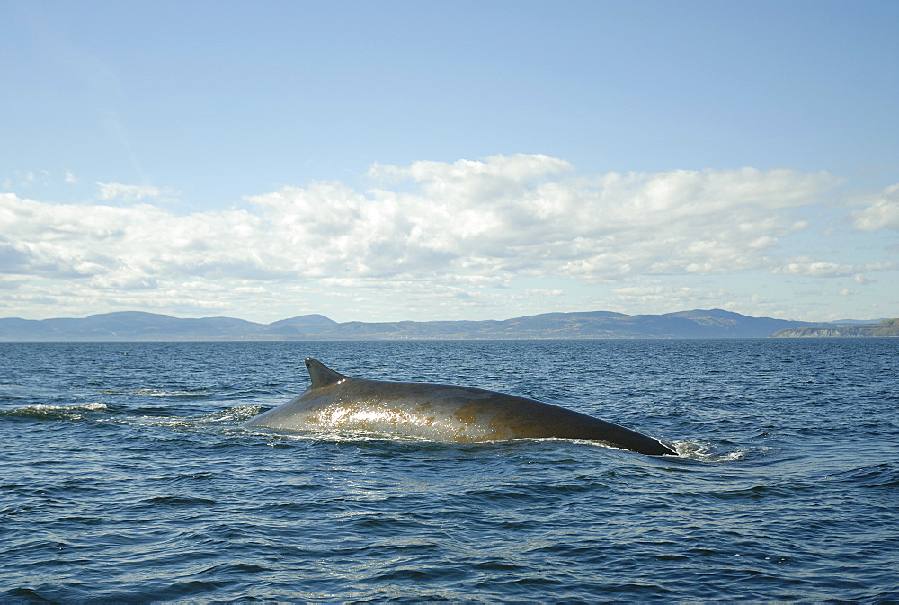 Finback whale (Balaenoptera physalus) arching its back in order to dive showing its tall dorsal fin and patches of green algae that cover its back. St. Lawrence estuary, Canada