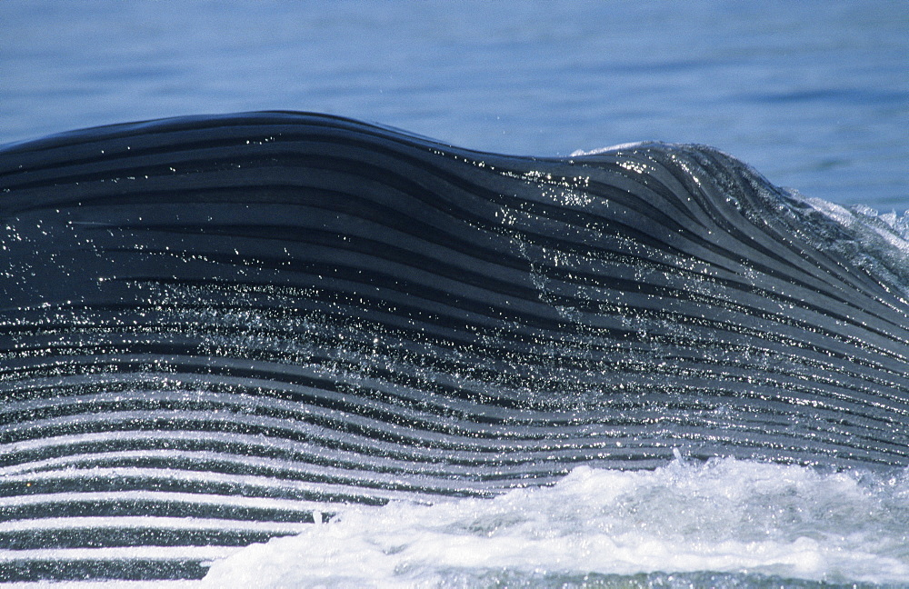 Closeup of the expanded grooves of a giant Blue whale (Balaenoptera musculus) during a lateral lunge, a feeding strike occasionally seen in the St. Lawrence estuary, Canada. - 990-177